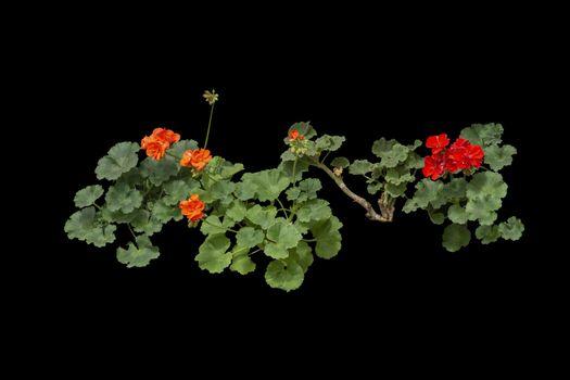 Red geranium flowers in pots