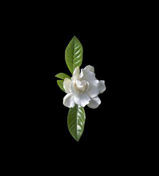 Beautiful white gardenia flower closeup