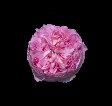 Beautiful pink rose flower closeup isolated