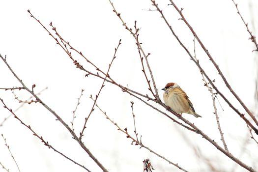 cold sparrow