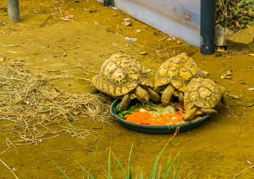 small tortoises eating vegetables, taking care of reptiles, popular tropical pets