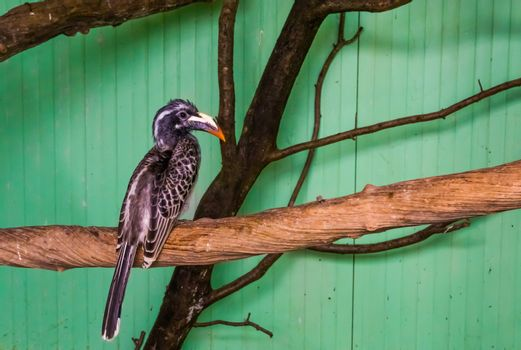 portrait of a female african grey hornbill sitting on a tree branch, tropical bird from africa