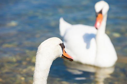 Bilice, Sibenik-Knin, Croatia, Europe - A swan cob looking at a swan pen