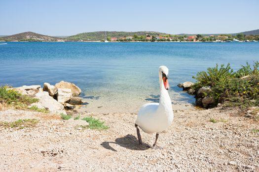 Bilice, Sibenik-Knin, Croatia, Europe - A white swan walking upwards the beach
