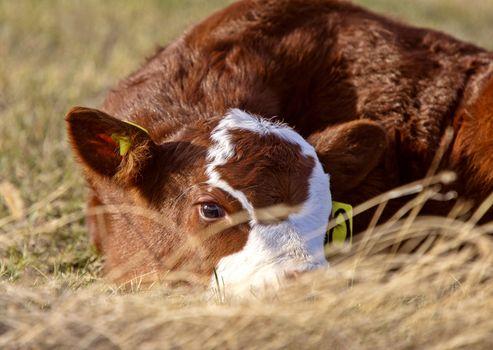 Cattle Calving Season