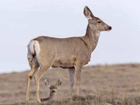Deer on Ridge