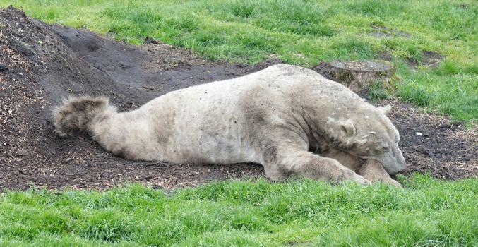 Polar bear on grass