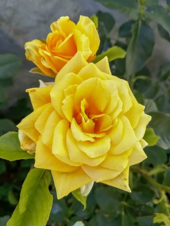 Two yellow roses with unfocused green leaves background