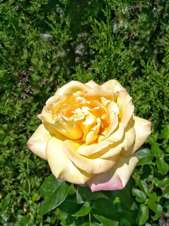 Yellow rose with some damaged petal with green background