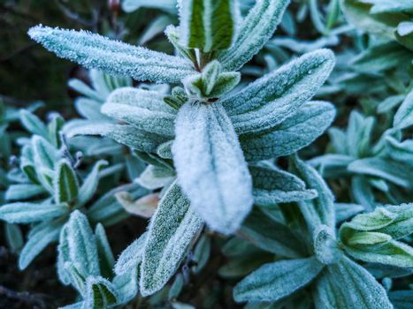 Mountain plants with hoarfrost of frozen dew water