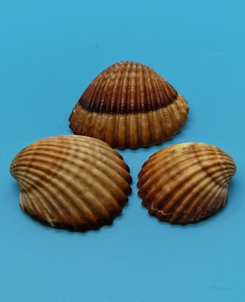 Brown and white seashells in composition on blue background
