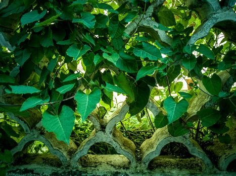 Background of green leaves covering the structure of a fence