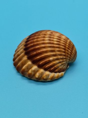 Brown and white seashells on blue background