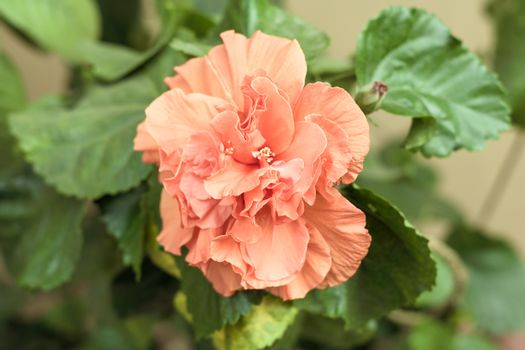 Carnation flower or clove pink (Dianthus caryophyllus), is an herbaceous perennial plant, natural color is pale pinkish purple with no fragrance. It is symbol of health energy fascination and love