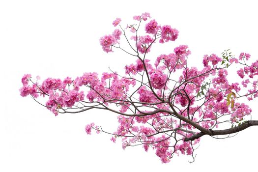 Pink flower and tree branch isolated on white background