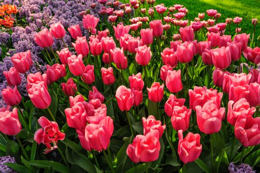 Large multicolored tulips flowerbed in Netherlands