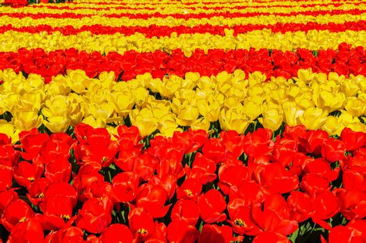 Large multicolored tulips flowerbed in Netherlands, unrecognizeable people at background
