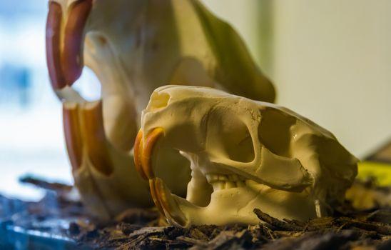 skull of a coypu (Myocastor coypus), rodent cranium with massive teeth