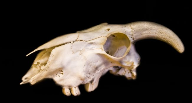 white animal skull with horns isolated on a black background