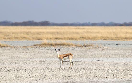 Lone springbok in the Makgadikgadi