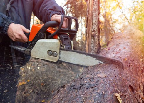 Man saws a chainsaw thick log in the forest