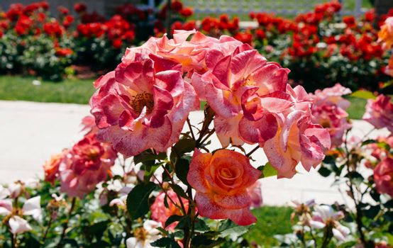 Pink roses in a botanical park in Istanbul on display