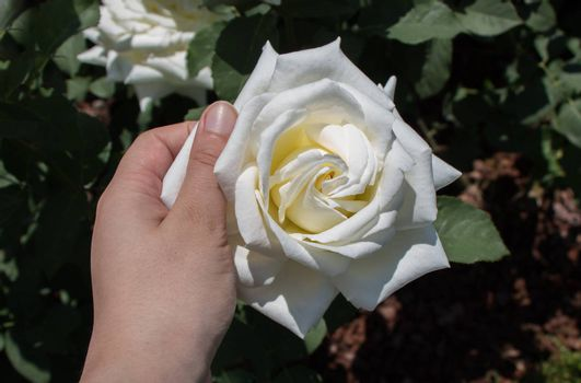 Hand holding a rose in the rose  garden