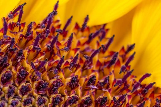 Sunflower beautiful macro photography closeup with seeds and petals texture background 04