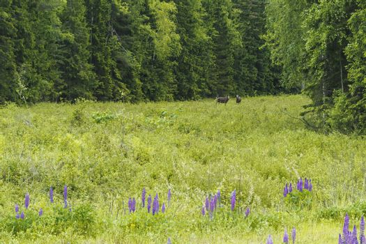 Elk family in a forest glade