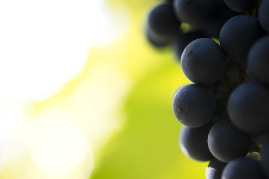Close-up Image of Ripe Bunche of the Red Wine Grapes on Vine