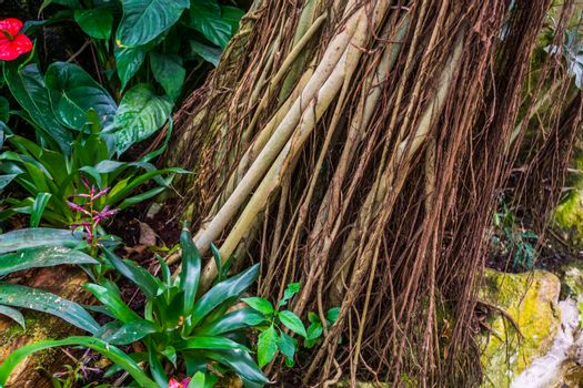 tropical tree trunk over grown with vines, decorative plants, nature background of a exotic garden