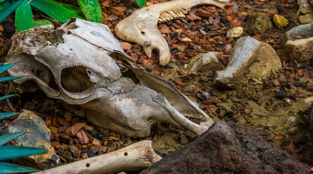 broken animal skull with bone and jaw, the remains of a herbivorous mammal