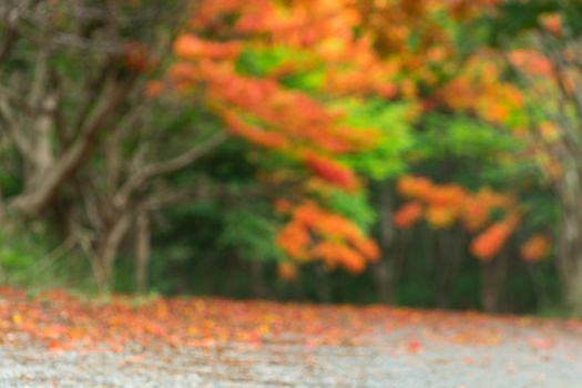 Blur or Defocus Scene of Flame Tree, Royal Poinciana or delonix regia in autumn season.  Red Flower bloom over road or street