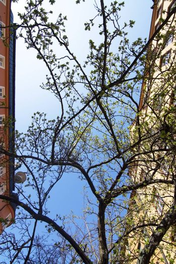 Spring green leaves and blue sky between buildings on a sunny day in Vasastan, April in Stockholm, Sweden.