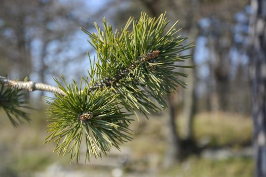 Fresh new green pine branches closeup in spring sunlight, April in Sweden.