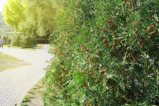 Arborvitae tree grows in the city Park along the path, on a Sunny summer day