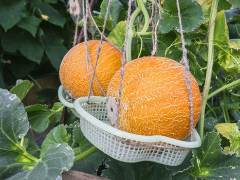 Ripe yellow melons grow in the greenhouse