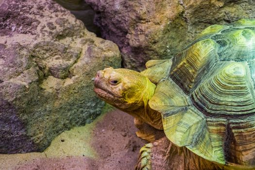 African spurred tortoise in closeup with its face, tropical land turtle from the desert of Africa, Vulnerable reptile specie