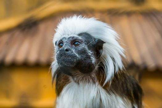 the face of a cotton top tamarin in closeup, tropical critically endangered monkey from Colombia