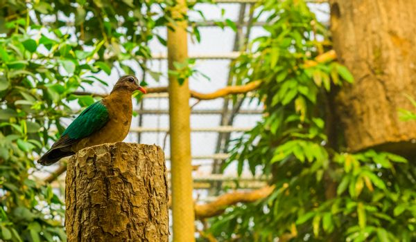 Portrait of a female emerald dove sitting on a tree trunk, tropical pigeon from india, bird with colorful plumage