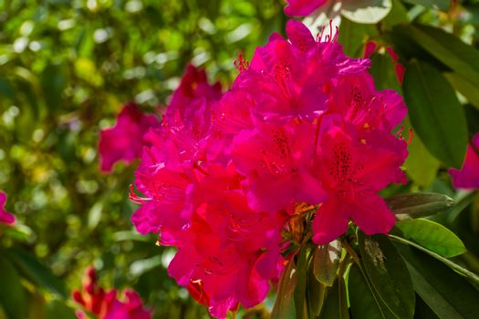beautiful pink rhododendron flowers in macro closeup, cultivated flowering bush, popular ornamental plant for the garden, nature background