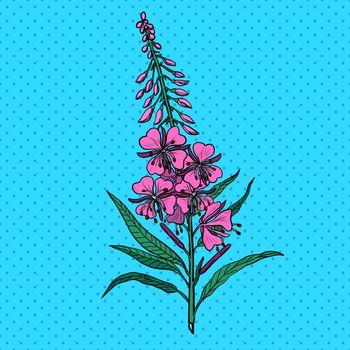 Ivan tea medicinal plant