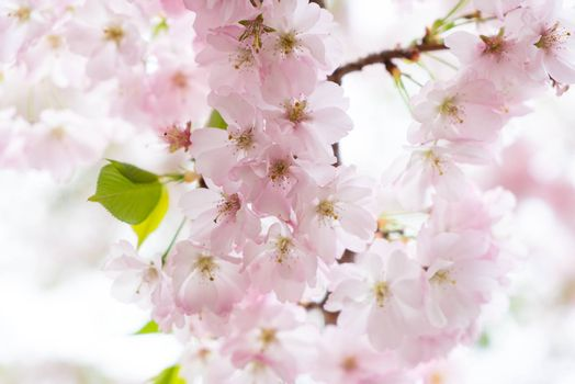 A bright image of cherry blossom during spring.