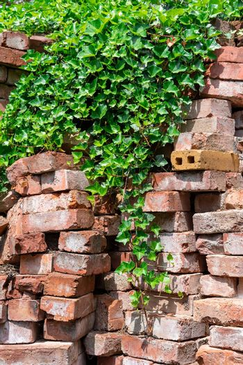 Red bricks stapled are covered by green ivy hedera helix. Those bricks are typically used as a construction material but a forgotten and finally conquered back by nature.