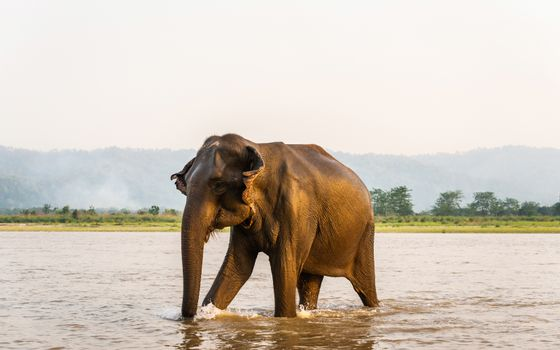 Elephant walking out of the Gandak river after his bath ,in Chitwan National Park, Nepal