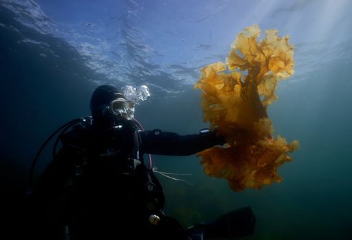 Diver examining sugar celp on the west coast of Norway