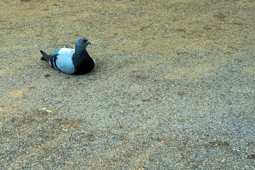 pigeon laying on tar with a serious look that seems to say better behave
