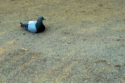 pigeon laying on tar with an annoyed look that seems to say you are boring