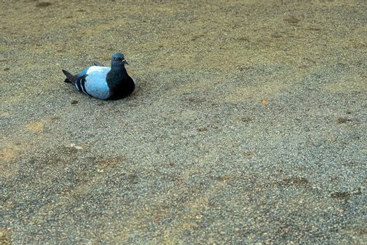 pigeon laying on tar with a severe look that seems to be judging you