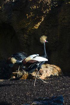 grulla coronada Balearica pavonina